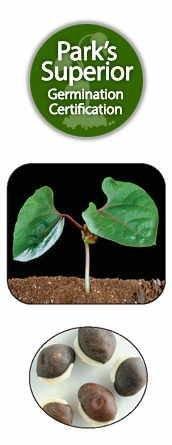 Dolichos Seed Germination