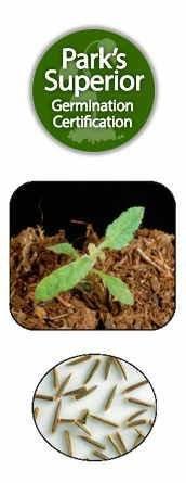 Eupatorium Seed Germination