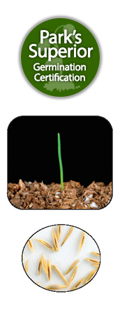 Festuca Seed Germination