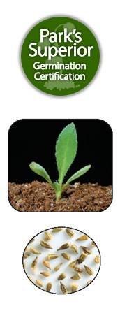 Gaillardia Pulchella Seed Germination