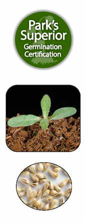 Gomphrena Seed Germination
