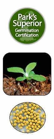 Helichrysum Seed Germination