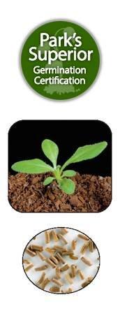 Helichrysum Bracteatum Seed Germination