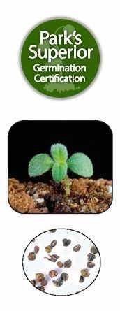 Heliotropium arborescens Seed Germination