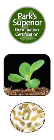 Heteropappus meyendorfii Seed Germination