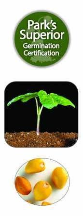 Ipomoea alba Seed Germination