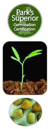 Lathyrus odoratus Seed Germination