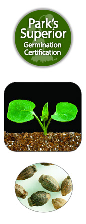 Mirabilis Seed Germination