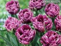 Tulip Dazzling® Color Burst