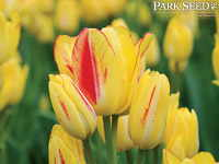 Tulip Sunshine Club®