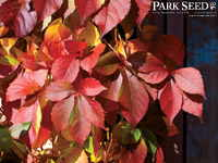 Virginia Creeper Red Wall™