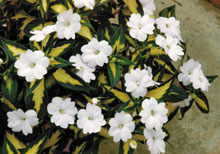 Impatiens SunPatiens® Variegated Spreading White