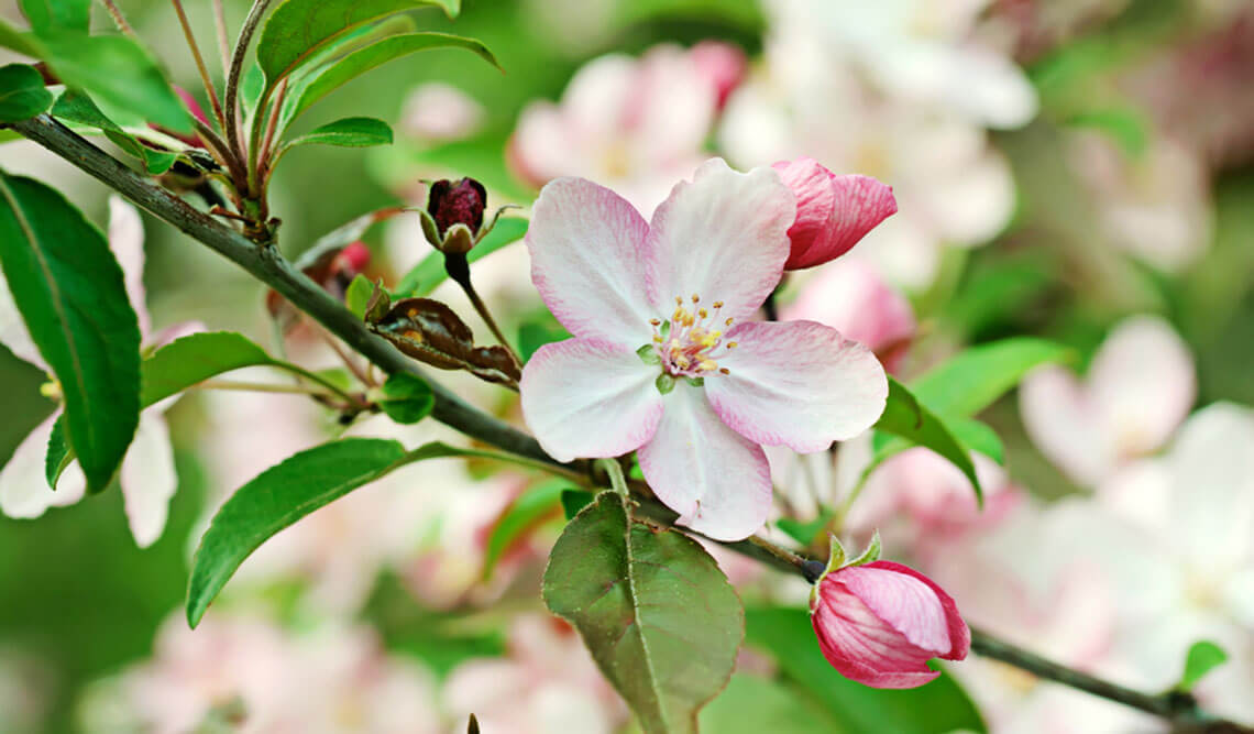 apple tree with flowering branch