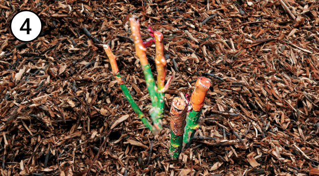 Mulch Bareroot Rose After Planting