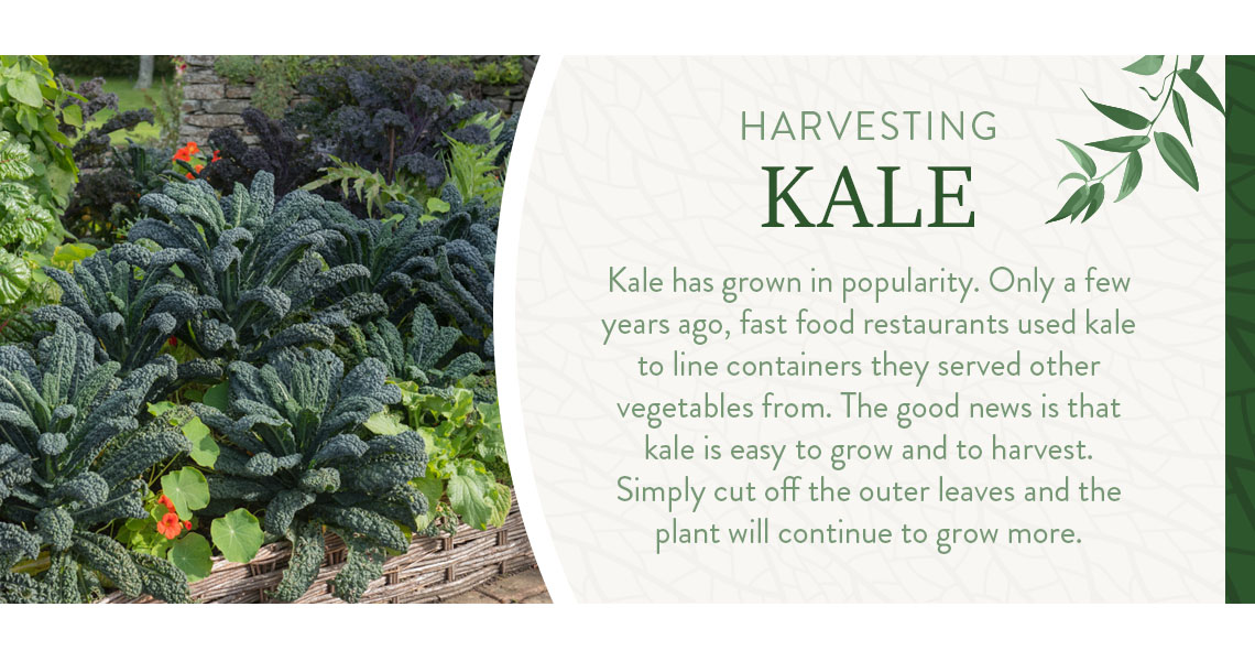 harvesting kale graphic