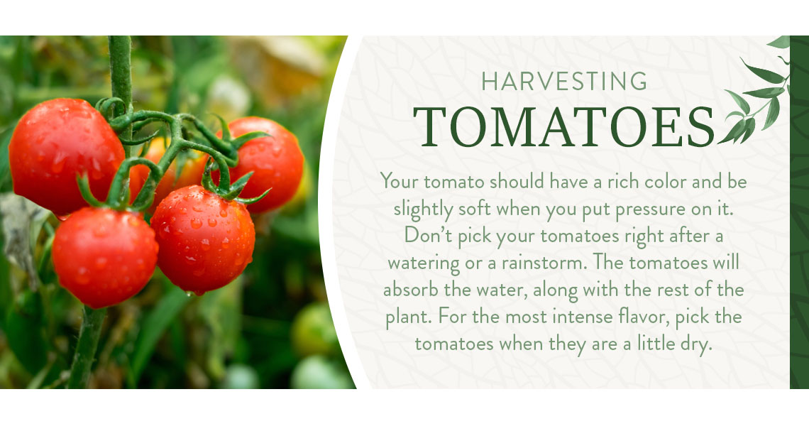 harvesting tomatoes graphic