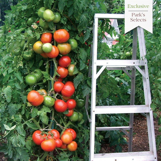 Whopper tomato vine with ladder