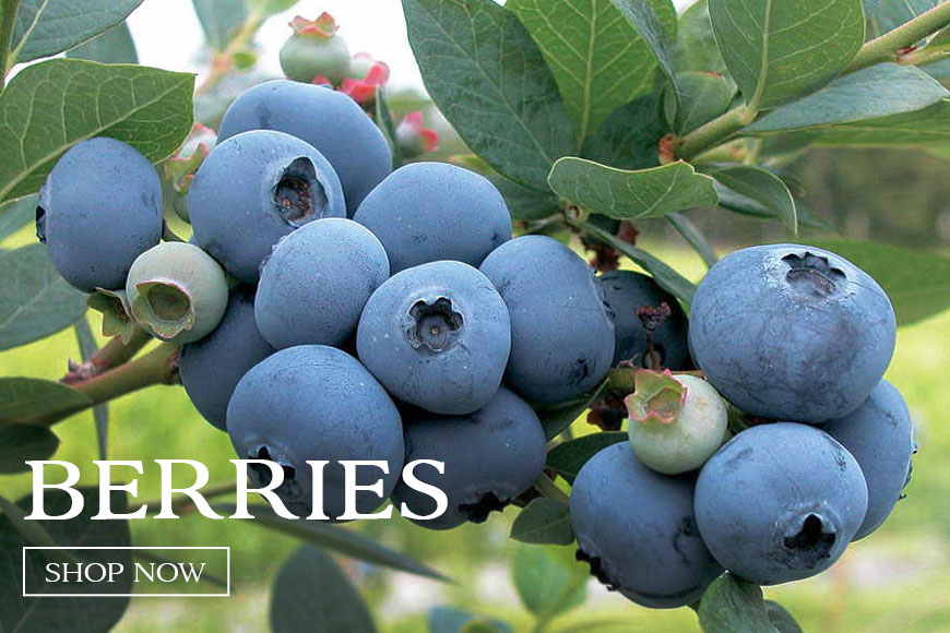 Berries- rich colors & tantalizing flavors!