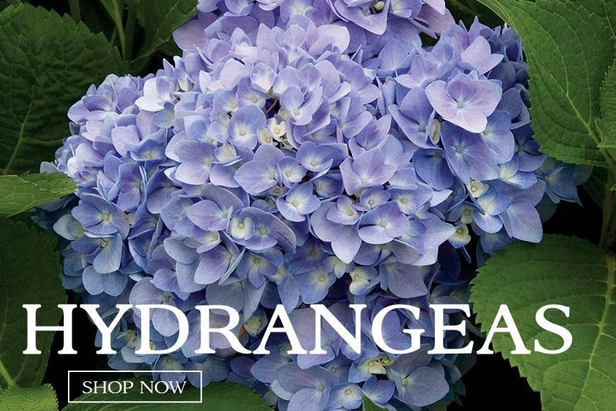 Hydrangeas- big beautiful blooms