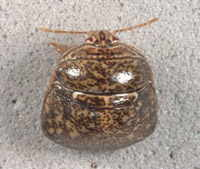 Kudzu Bug (image source: USDA)