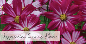 Peppermint Cosmos Flower