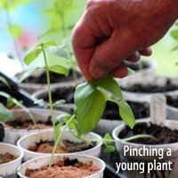 Pinching a plant