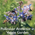 Borage (pollinator attractor in veggie garden)