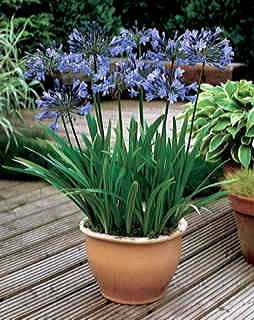 Headbourne Hybrids Lily of the Nile Seeds