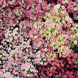 Pastel Carpet Sweet Alyssum Seeds