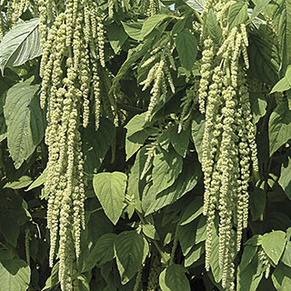 Green Love-Lies-Bleeding Seeds