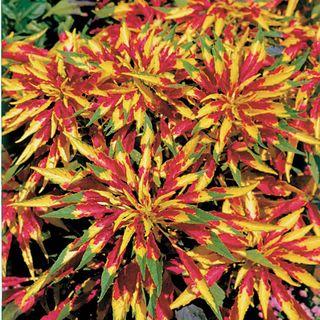 Perfecta Amaranthus Seeds