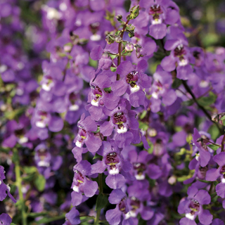 Serena® Purple Angelonia Seeds