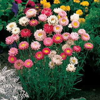 Best Mix Paper Daisy Seeds