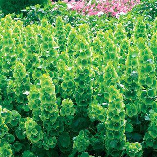 Bells-of-Ireland Seeds