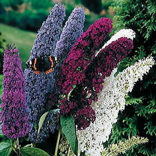 Butterfly Bush Seed Mix