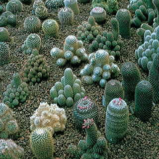 Hardy Blend Cactus Seeds