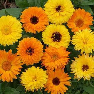 Pacific Beauty Mix Calendula Seeds
