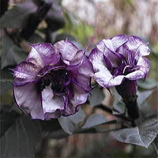 Blackcurrant Swirl™ Angels Trumpet Seeds