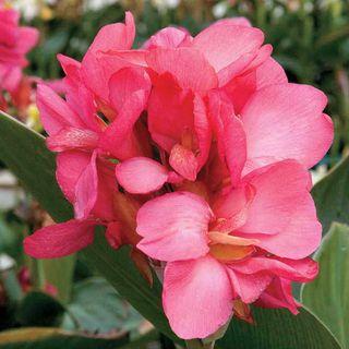 Tropical™ Rose Canna Seeds