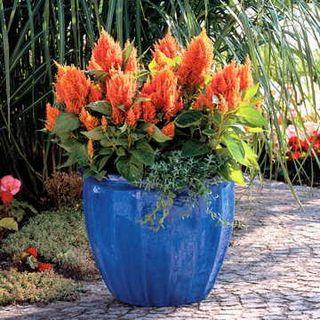 Fresh Look Orange Celosia Seeds
