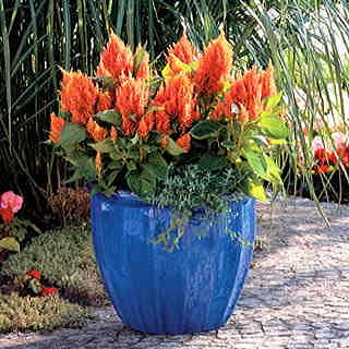 Fresh Look Orange Celosia Seeds
