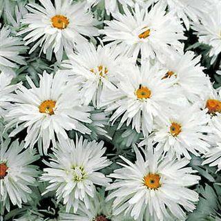 Crazy Daisy Shasta Daisy Seeds