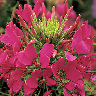 Sparkler Rose Spider Flower Seeds