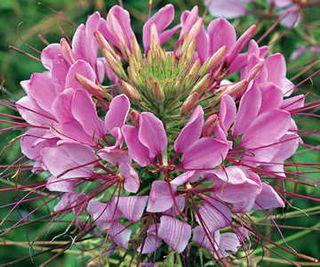 Sparkler Lavender Spider Flower Seeds