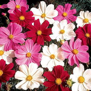 Gazebo Mix Cosmos Flower Seeds