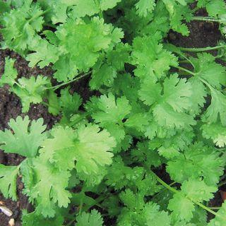Calypso Cilantro Seeds