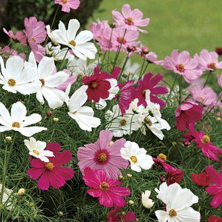 Sonata Mix Cosmos Flower Seeds