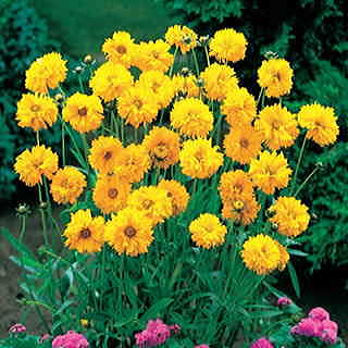 Early Sunrise Yellow Coreopsis Flower Seeds