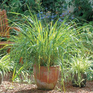 Lemongrass Seeds Image
