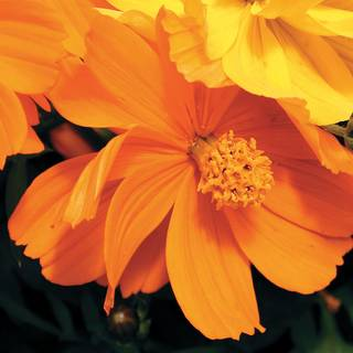 Cosmic Orange Cosmos Flower Seeds